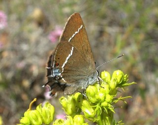 Blue-spot Hairstreak